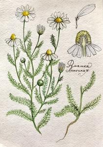 Ботаническая иллюстрация «Ромашка»