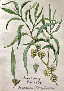 Ботаническая иллюстрация «Эвкалипт»